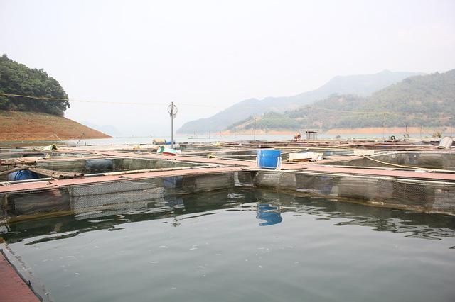 Anh Phạm Văn Thịnh - chủ một cơ sở nuôi cá sông Đà cho biết, mô hình nuôi cá sạch trên lồng bè đang được phát huy hiệu quả và là ngành kinh tế mũi nhọn tại một số xã thuộc tỉnh Hòa Bình.